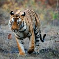 Adopt a Tiger