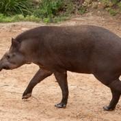 Adopt a Brazilian Tapir