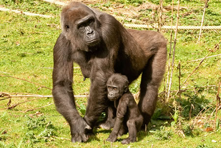 Mother and child Gorilla's