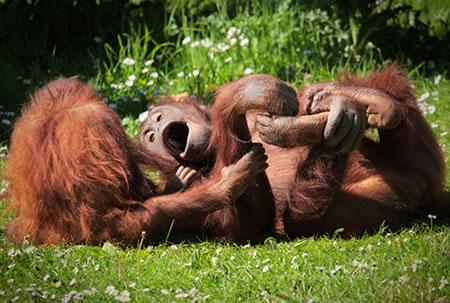 Orangutans monkeying around