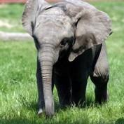 Adopt an African Elephant