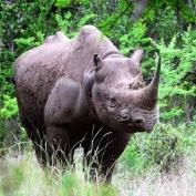 Adopt a Black Rhino