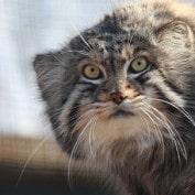 Adopt a Pallas Cat