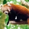 Aspinall Red Panda
