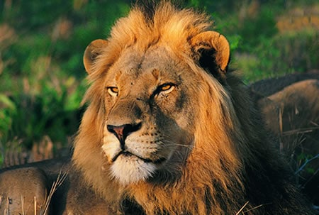 adopt a lion today at