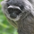 A Javan Gibbon
