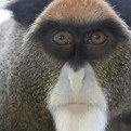 Adopt a De Brazza Monkey