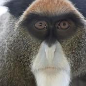 Adopt a De Brazza's Monkey