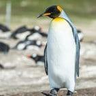 Adopt a king penguin