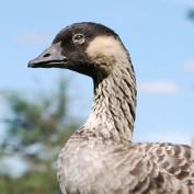 Adopt a Hawaiian Goose