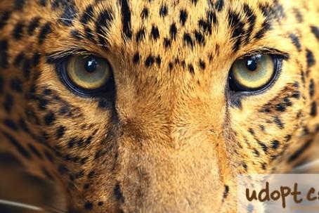 leopardFB