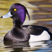 Adopt a Tufted Duck