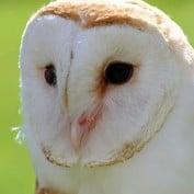 Adopt an Owl