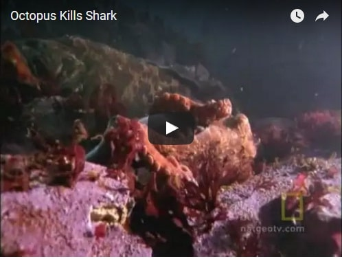 Check Out This Amazing Footage Of An Octopus Killing A ...