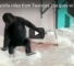 Check Out This Video Of A Gorilla Dancing