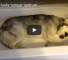 Husky Loves Bath Time