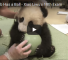 This Video Of A Panda Cub Playing With A Ball Is Bound To Make You Go Awww