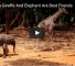 Check Out This Adorable Video Of An Orphaned Baby Giraffe And His Best Friend
