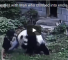 Watch This Man Playing A Prank Being Forced To Wrestle A Panda