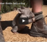 Check Out This Cute Wombat Who Believes He Is A Dog