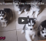 Watch This Video Of Siberian Husky Pups Learning To Communicate