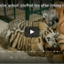 tiger cubs adopted