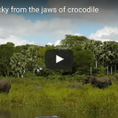 elephant attacked by crocodile