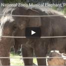 Elephant plays harmonica