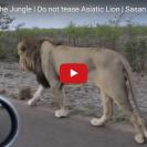 lion growls at man