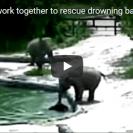 elephants rescue calf