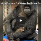 gorilla fosters kittens