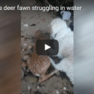 Watch This Dog Rescue A Deer From The Ocean