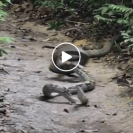 Watch This Video Of A King Cobra Killing A Python With Its Venomous Bite