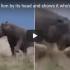 Hippo mauls lion