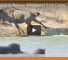 Check Out These Hippos Save A Wildebeest From A Crocodile Attack
