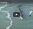 Watch This Video Of A Crocodile Attacking A Shark