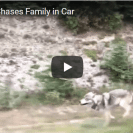 gray wolf chases car