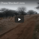 biker hooligans chase lions