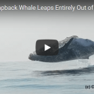 humpback whale leaps out of the water