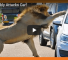 Lion Attacks Car In Order To Impress Lady Friend