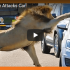 lion attacks car