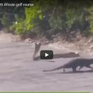 mongoose attacks cobra
