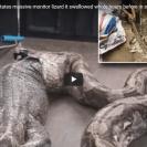 python regurgitates lizard