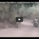 Two Guys Have An Uncomfortable Experience With Two Wild Tigers
