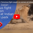 Battle Between Tiger And Mama Bear Protecting Her Cub