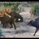 buffalo rescues baby elephant