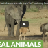 cheeky elephant chases wildebeest