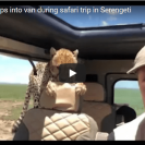 Check Out This Shocking Video Of Wild Cheetah Leaping Into Safari Group's Vehicle