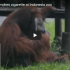 Zoo In Indonesia Criticised For This Video Of Smoking Orangutan