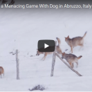 This Dog Displays Enormous Courage In Escaping A Wolf Pack